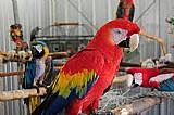 Bebe papagaios e papagaio ovos para venda.
